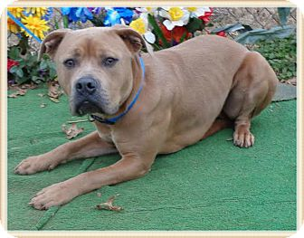 Pit Bull Terrier Mix Dog for adoption in Marietta, Georgia - DYSON