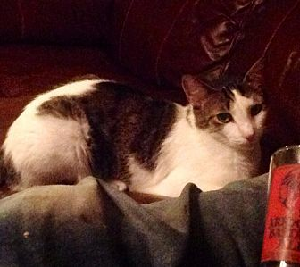 Domestic Shorthair Cat for adoption in Zolfo Springs, Florida - Brent