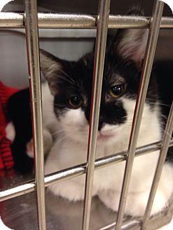 Domestic Shorthair Kitten for adoption in Muncie, Indiana - Tonto