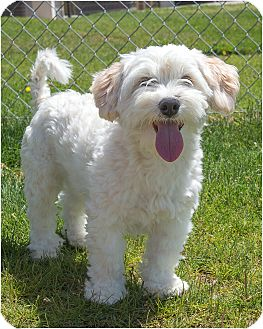 Shih Tzu/Terrier (Unknown Type, Small) Mix Dog for adoption in Fruit Heights, Utah - Ryker