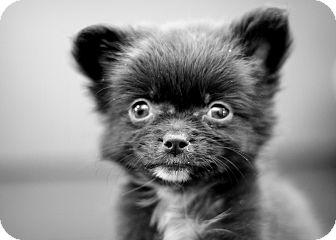 Pomeranian/Papillon Mix Puppy for adoption in College Station, Texas - Paddington (1.4 pounds)