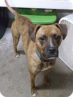 Boxer Mix Dog for adoption in Geneseo, Illinois - Jaxson