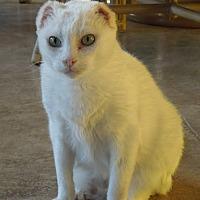 Adopt A Pet :: Snowy - Makawao, HI