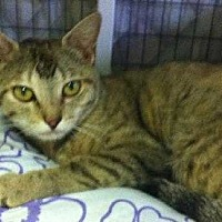 Domestic Shorthair Cat for adoption in Dickson, Tennessee - Ruth