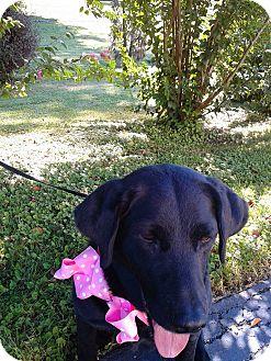 Labrador Retriever Dog for adoption in Paducah, Kentucky - Liddia