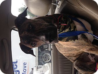 Boxer Mix Dog for adoption in Manassas, Virginia - Rocky