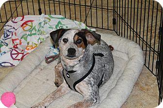 Blue Heeler/Labrador Retriever Mix Puppy for adoption in Hainesville, Illinois - Daisy