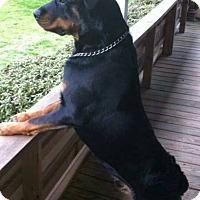 Adopt A Pet :: Sampson - North Little Rock, AR