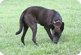Shepherd (Unknown Type)/Labrador Retriever Mix Dog for adoption in Hayes, Virginia - Mocha