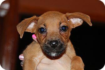 Boxer/Rhodesian Ridgeback Mix Puppy for adoption in Phoenix, Arizona - Monet