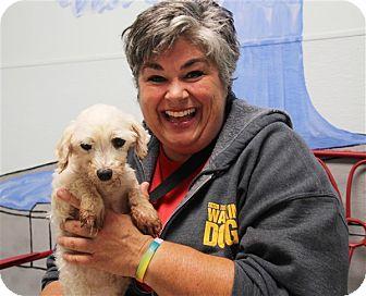 Bichon Frise Mix Dog for adoption in Elyria, Ohio - Marshmallow