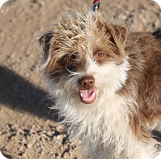 Terrier (Unknown Type, Small) Mix Puppy for adoption in Denver, Colorado - Boomer