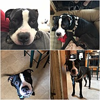 Adopt A Pet :: Dutch - Chalfont, PA