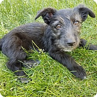 Schnauzer (Miniature) Mix Puppy for adoption in Fort Atkinson, Wisconsin - Minnie Mouse