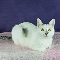 Domestic Shorthair Cat for adoption in Columbia, Illinois - Tabitha
