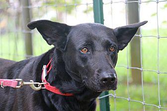 German Shepherd Dog/Labrador Retriever Mix Dog for adoption in Nashua, New Hampshire - Shiba