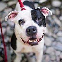Adopt A Pet :: Ziggy - Stroudsburg, PA