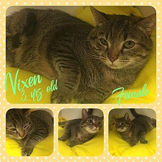Domestic Shorthair Cat for adoption in Siler City, North Carolina - Vixen