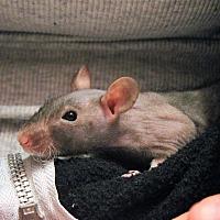 Adopt A Pet :: Noodle - Saanichton, BC