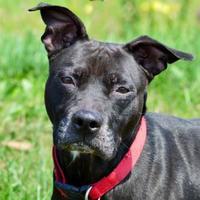 Adopt A Pet :: Rodger - Westampton, NJ