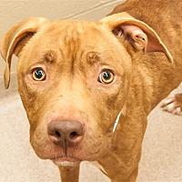Adopt A Pet :: Ginger - Birmingham, AL