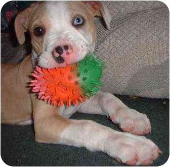 American Pit Bull Terrier Mix Dog for adoption in Bakersfield, California - Cruise