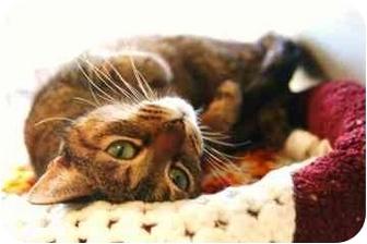 Domestic Shorthair Cat for adoption in Walker, Michigan - Lexi