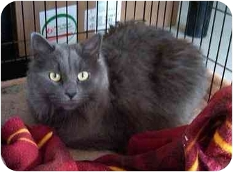 Domestic Longhair Cat for adoption in Odenton, Maryland - Samantha