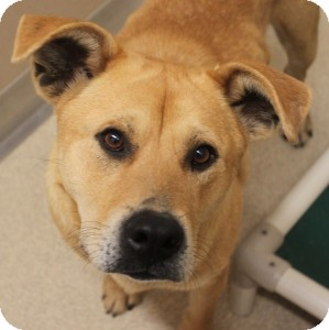 Shar Pei Mix Dog for adoption in Naperville, Illinois - Harlow