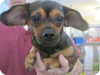 Chihuahua/Pekingese Mix Dog for adoption in San Antonio, Texas - Stella