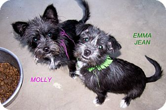 Terrier (Unknown Type, Small) Mix Puppy for adoption in West Los Angeles, California - Molly and Emma Jean