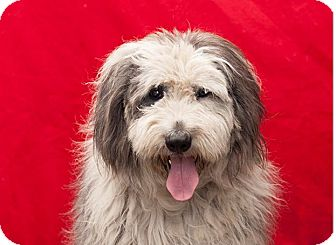 Old English Sheepdog Mix Dog for adoption in Los Angeles, California - Bolton