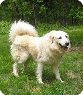 Great Pyrenees/Golden Retriever Mix Dog for adoption in Lyme, Connecticut - Gabriel