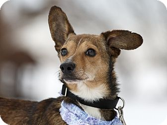 Dachshund Mix Dog for adoption in Ile-Perrot, Quebec - Low Rider