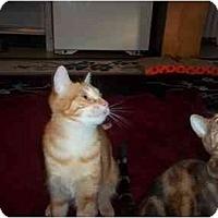 Adopt A Pet :: KATO n kayla - Little Neck, NY