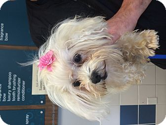 Maltese Mix Dog for adoption in Fairview Heights, Illinois - Sadie
