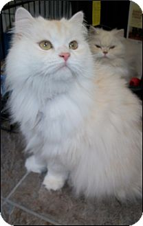 Persian Cat for adoption in Colville, Washington - Mr. Lion