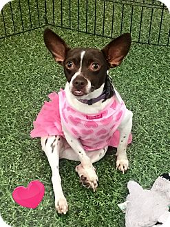Fox Terrier (Toy) Mix Dog for adoption in Cleveland, Ohio - Colgate