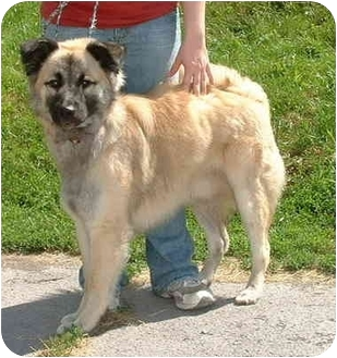 "Husky/German Shepherd Dog Mix Dog for adoption in Honesdale, Pennsylvania - Noosak ""Brody"""