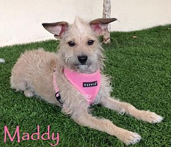 Terrier (Unknown Type, Medium) Mix Dog for adoption in San Diego, California - Maddy
