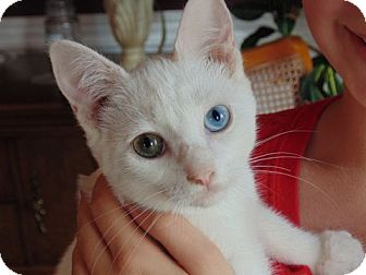 Domestic Shorthair Kitten for adoption in Knoxville, Tennessee - Poppet