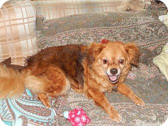 Cavalier King Charles Spaniel Mix Dog for adoption in Naperville, Illinois - Taffy