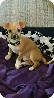 Chihuahua Mix Puppy for adoption in Grand Rapids, Michigan - Coco Bean