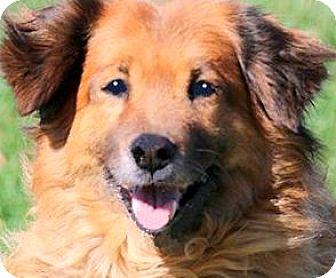 Golden Retriever Mix Dog for adoption in Wakefield, Rhode Island - MISS RUE(A TRUE LADY-SO GENTLE