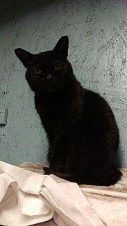 Domestic Shorthair Cat for adoption in Brainardsville, New York - Mom