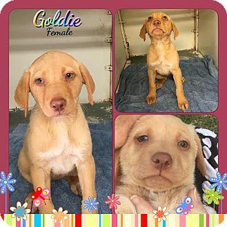 Labrador Retriever Mix Puppy for adoption in East Hartford, Connecticut - Goldie meet me 5/13