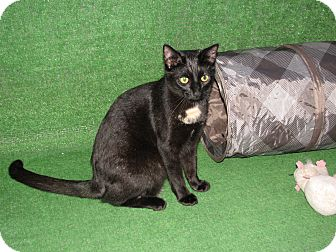Siamese Cat for adoption in Clearwater, Florida - STAR