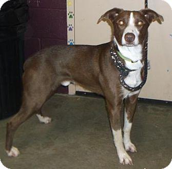 Australian Shepherd Mix Dog for adoption in Rapid City, South Dakota - Max