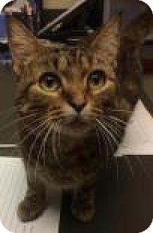Domestic Shorthair Cat for adoption in Columbus, Georgia - Cookie 2673