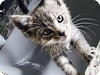 Domestic Shorthair Kitten for adoption in Tampa, Florida - Kia